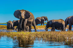 Elephants with calves come to drink Royalty Free Stock Photo