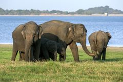 Elephants and calves graze next to the tank at Minneriya National Park in Sri Lanka. royalty free stock images