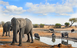Elephants and cape buffalo next to a waterhole with a blue sky and bush background Royalty Free Stock Images