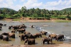 Elephants in Ceylon. Elephants bathe in the mountain river Royalty Free Stock Photo