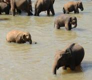 Elephants in Ceylon. Elephants bathe in the mountain river Stock Photography