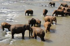 Elephants in Ceylon. Elephants bathe in the mountain river Royalty Free Stock Photography