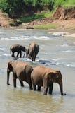 Elephants in Ceylon. Elephant bathing in the river Stock Photos