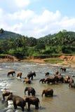 Elephants in Ceylon. Elephant bathing in the river Stock Photography