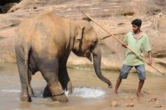 Elephants in Ceylon. Elephant orphanage in the city of Pinnawela Ceylon Stock Photos