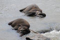 Elephants in Ceylon. Elephant orphanage in the city of Pinnawela Ceylon Royalty Free Stock Images