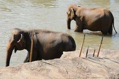 Elephants in Ceylon. Elephant orphanage in the city of Pinnawela Ceylon Royalty Free Stock Image