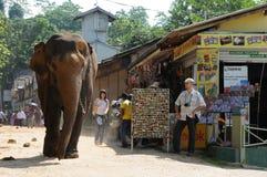 Elephants in Ceylon. Elephant orphanage in the city of Pinnawela Ceylon Royalty Free Stock Photo