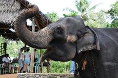 Elephants in Ceylon. Elephant orphanage in the city of Pinnawela Ceylon Stock Photography
