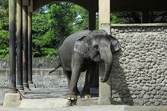 Elephants in Chains. Elephants in the condition chain are apprehensive at Gembira Loka Zoo, Yogyakarta, Indonesia stock image