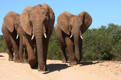 Elephants Charging. Three adult elephants mock charging the photographer in South Africa Stock Photography