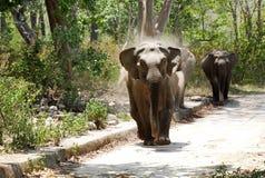 Elephants Charging at the Safari Jeep Royalty Free Stock Photo