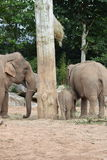 Elephants at chester zoo Royalty Free Stock Photo