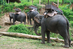 Elephants , Chiang Mai, Thailand Stock Photos