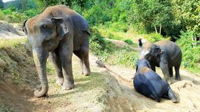 Elephants in Chiang Mai Thailand stock photos