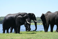 Elephants in Chobe Stock Photos