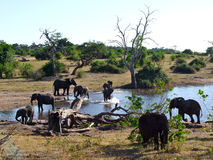 Elephants at Chobe National Park. Elephants bathing at Chobe National Park Royalty Free Stock Photography