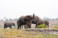 Elephants in Chobe National Park, Botswana Stock Images