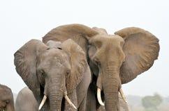 Elephants in Chobe National Park, Botswana Stock Photos