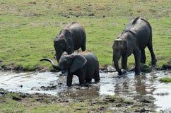 Elephants in Chobe National Park, Botswana Royalty Free Stock Photography
