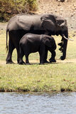 Elephants - Chobe River, Botswana, Africa Royalty Free Stock Image
