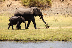 Elephants - Chobe River, Botswana, Africa Stock Photography