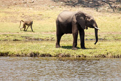 Elephants - Chobe River, Botswana, Africa Stock Images