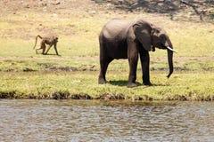 Elephants - Chobe River, Botswana, Africa Stock Images