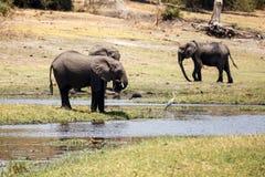 Elephants - Chobe River, Botswana, Africa Stock Image