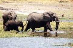 Elephants - Chobe River, Botswana, Africa Stock Photo