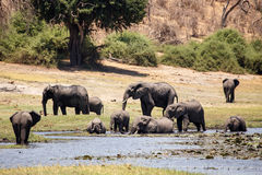 Elephants - Chobe River, Botswana, Africa Stock Photo