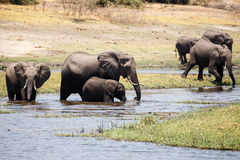 Elephants - Chobe River, Botswana, Africa Royalty Free Stock Photography