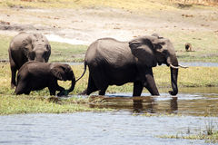 Elephants - Chobe River, Botswana, Africa Stock Photos