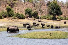 Elephants - Chobe River, Botswana, Africa. Wild Elephants in Chobe River, Chobe National Park, Botswana, Africa Stock Images