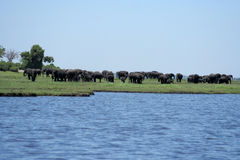 Elephants on Chobe River Floodplain. Stock Photography
