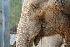 Elephants Close Up. Close up elephants in the eye and nose royalty free stock photography