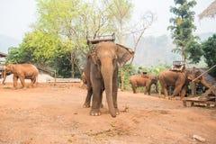 Elephants Stock Image