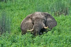 Elephant in lush grass. Elephants come to the shores of the Chobe river to feast on the lush grass Royalty Free Stock Images