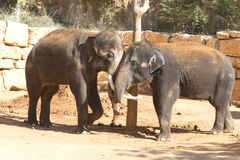 Elephants communicate friendly Royalty Free Stock Images