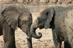 Elephants communicating Royalty Free Stock Photography