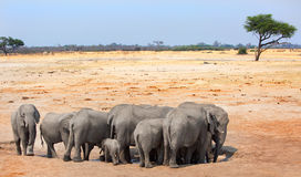 Elephants congregating at a waterhole with an acacia tree in the background Royalty Free Stock Photos