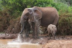 Elephants cooling down Royalty Free Stock Photo