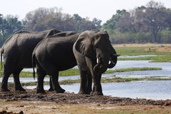 Elephants cooling beside the Okavango Delta, the world`s largest natural inland waterway Stock Photo