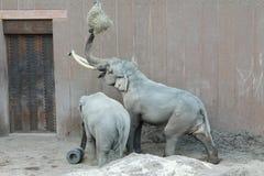 Elephants in Copenhagen Zoo. 2017 Copenhagen Zoo stock photo