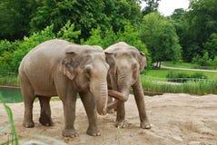 Elephants in Copenhagen Zoo. Two elephants in Copenhagen Zoo royalty free stock images