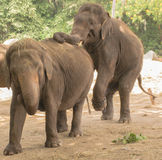 Elephants  couple(Elephas maximus) Stock Photo