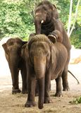 Elephants  couple (Elephas maximus) Stock Images