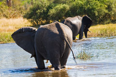 Elephants cross Khwai River. In Botswana Stock Photography