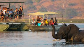Elephants crossing the Chobe River while tourist are watching. Botswana, crossing deep river, Africa, Chobe Nature Reserver, boat cruise stock images