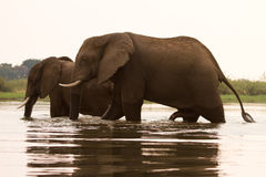 Elephants crossing river Stock Image